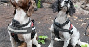 Meet Taz and Missy, koala detection dogs!  .  have taken Taz and Missy to burnt ...