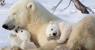 Time for a nap  ... Polar bears are huge when fully grown: males grow to about t...