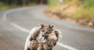According to The Telegraph, there are several koala populations that have been c...