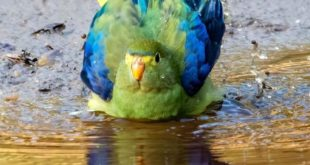 Blue-winged Parrot bathing: our Pic of the Week!⁠ ⁠ Wayne Suffield captured this...