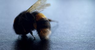Bumblebees face mass extinction amid 'climate chaos', scientists warn
