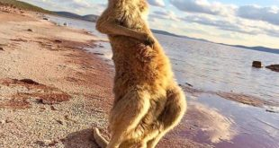 Happy time on the shore for this baby kangaroo  Lake Gairdner, South Australia. ...