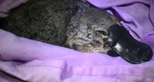 One of only two egg laying mammals is under threat. Australia's Iconic Platypus ...