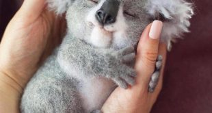 Real or Fake? Sweet baby koala    . Follow us  ️...