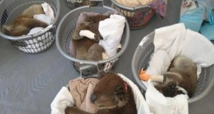 This beautiful pix of rescued koalas on Kangaroo Island breaks my heart and chee...