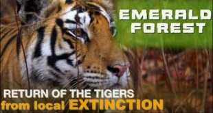 #How #Tigers Return from local #Extinction #Emerald Forests #Trailer #Panna #Reserve #MadhyaPradesh
