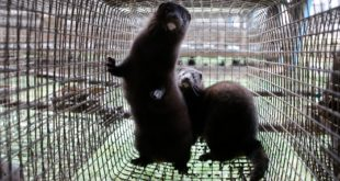 2 Dutch Mink Farms Quarantined After Coronavirus Detected In Animals