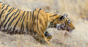 Five things Tiger King doesn't explain about captive tigers