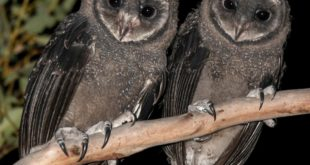These young Greater Sooty Owls face another terrifying threat so soon after the ...