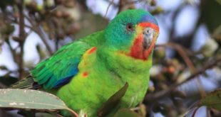 We will lose our wonderful Swift Parrot in 15 years if logging of their habitat ...
