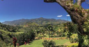 mango tree on colombian farm