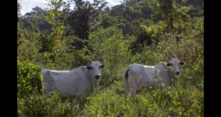 How a major meat company is linked to Amazon deforestation