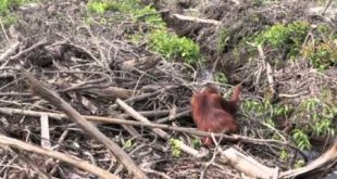 International Animal Rescue film shocking scenes of deforestation and starving orangutans