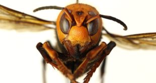 Looks Like The U.S. Might Have 'Murder Hornets' Now