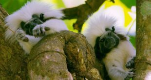 Adorable Tamarins Face Extinction from Deforestation | Seven Worlds, One Planet | BBC Earth