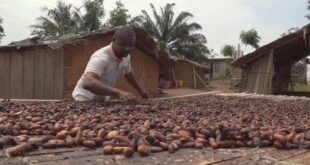 Bad news for chocolate lovers? Cocoa in Ivory Coast threatened by deforestation