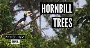 Deforestation in India's northeast threatens hornbill habitat