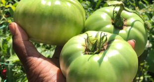 Episode 243: Peppers, Tomatoes and Squash Update,  Large Tomato Harvest & Killed Bad Nematodes